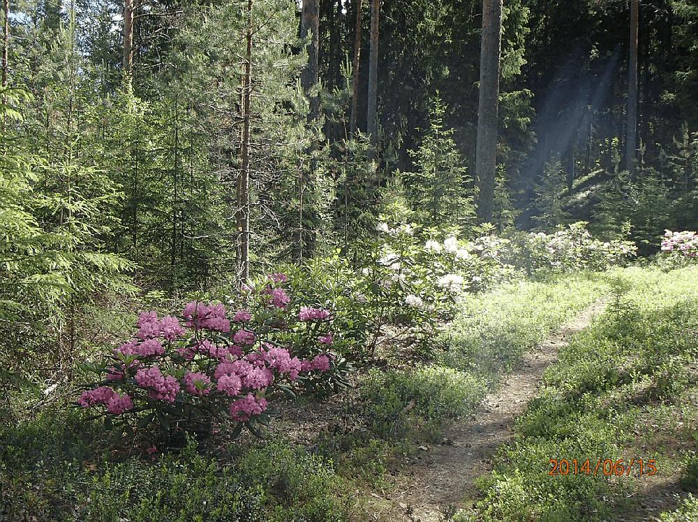 alppiruusupuisto
